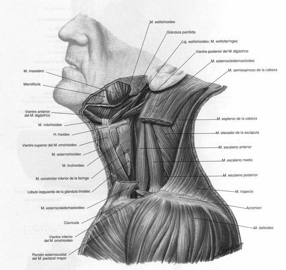 Presencia de puntos gatillo miofasciales en el trapecio inferior en ...