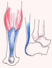 Musculatura de la pierna pdf