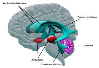 Anatomía en la malformación de Arnold Chiari