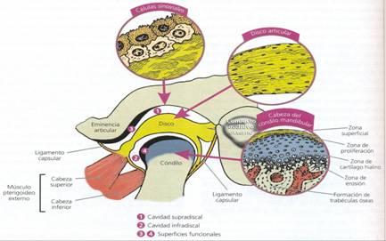 Terapia manual en las disfunciones de la articulación temporomandibular: revisión bibliográfica