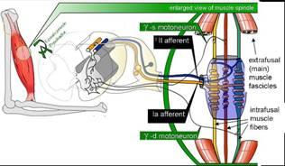 La importancia del sistema tónico postural en la evaluación y en la reeducación postural global: búsqueda bibliográfica