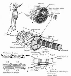 La lesión muscular menor en el deporte. Concepto, clasificación y tratamiento.